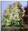 Advanced Critical Female 3 Cannabis Seeds